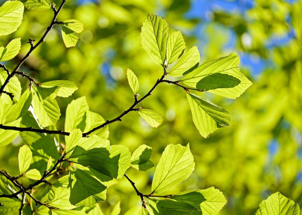 drzewo do ogrodu dąb